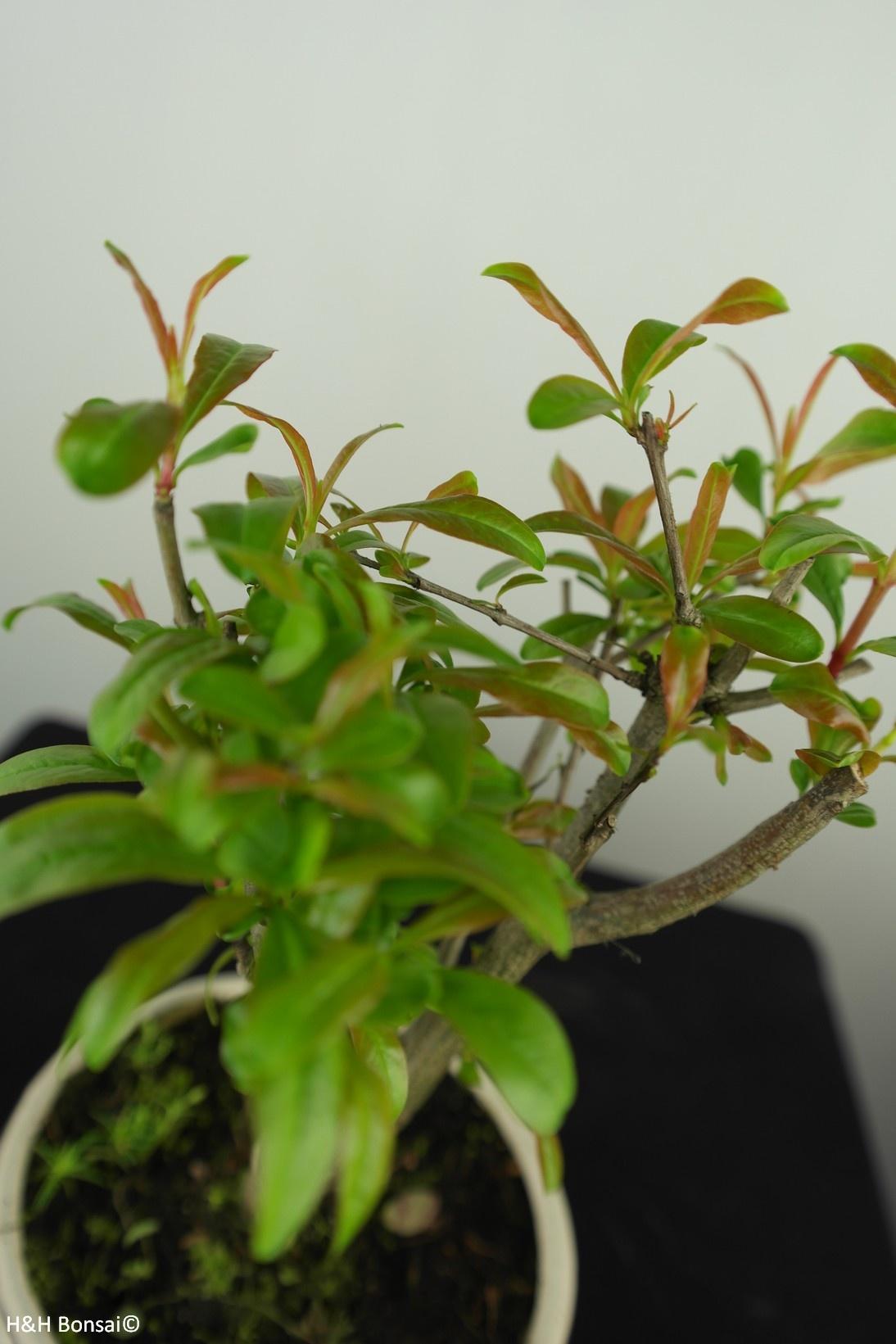 Bonsai Punica granatum, Granaatappel, nr. 7588