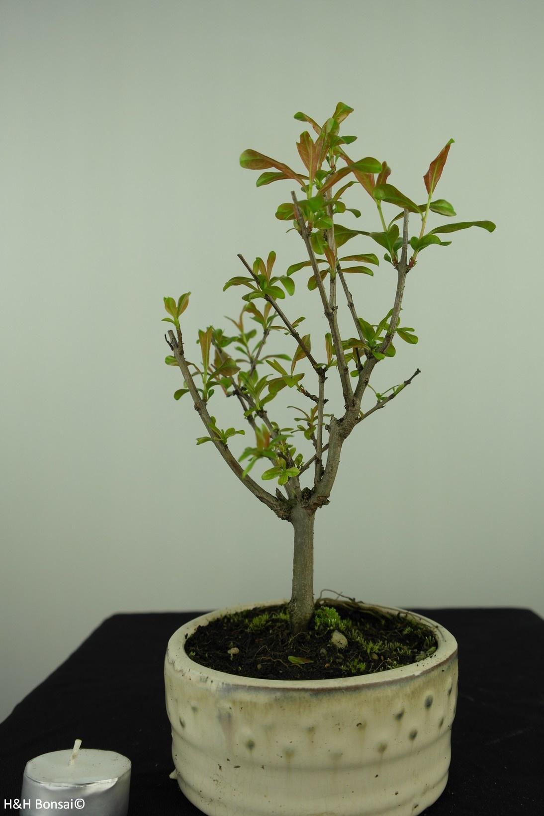 Bonsai Granatapfel, Punica granatum, nr. 7591