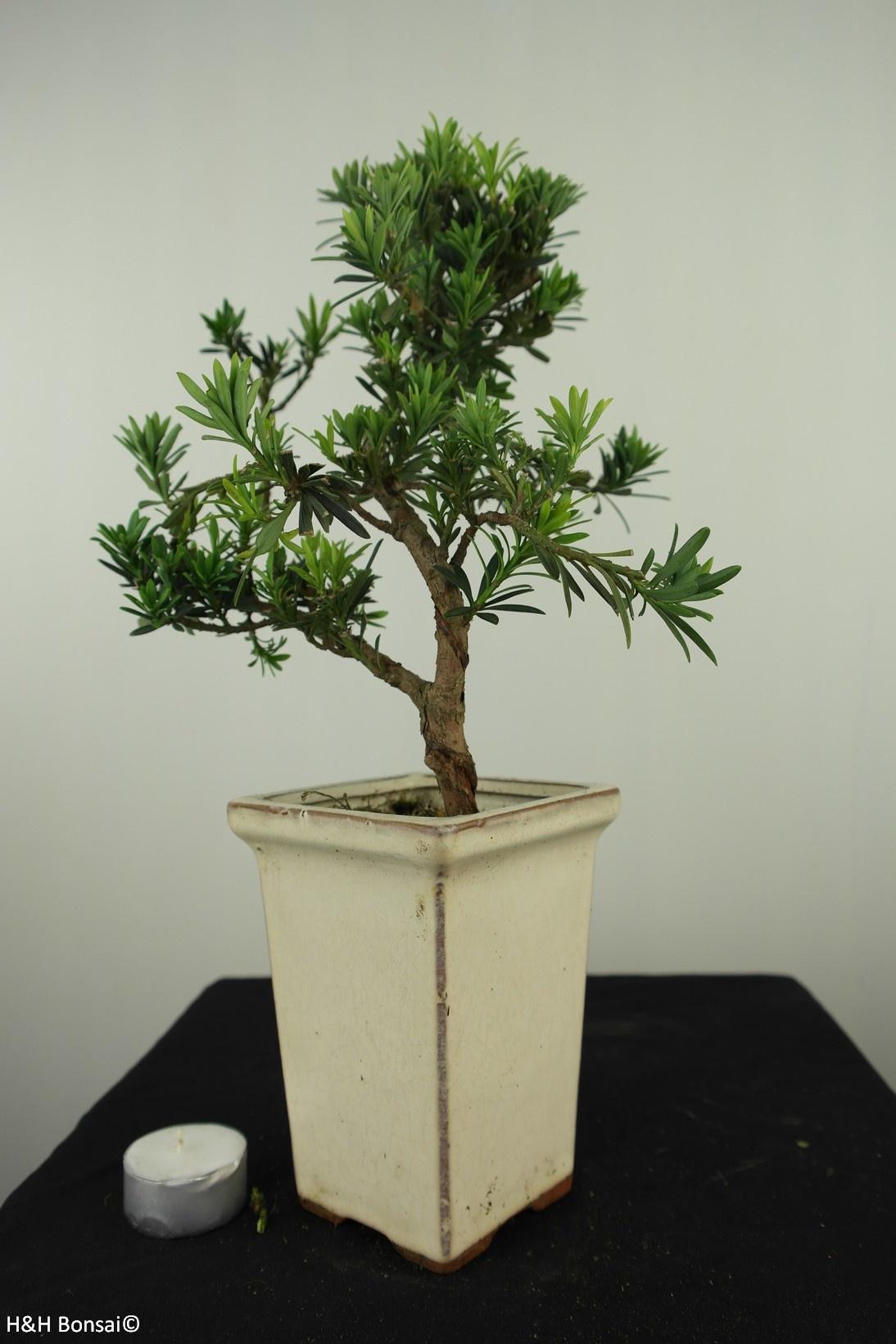 Bonsai Podocarpus, Japanse boeddha den, nr. 7597