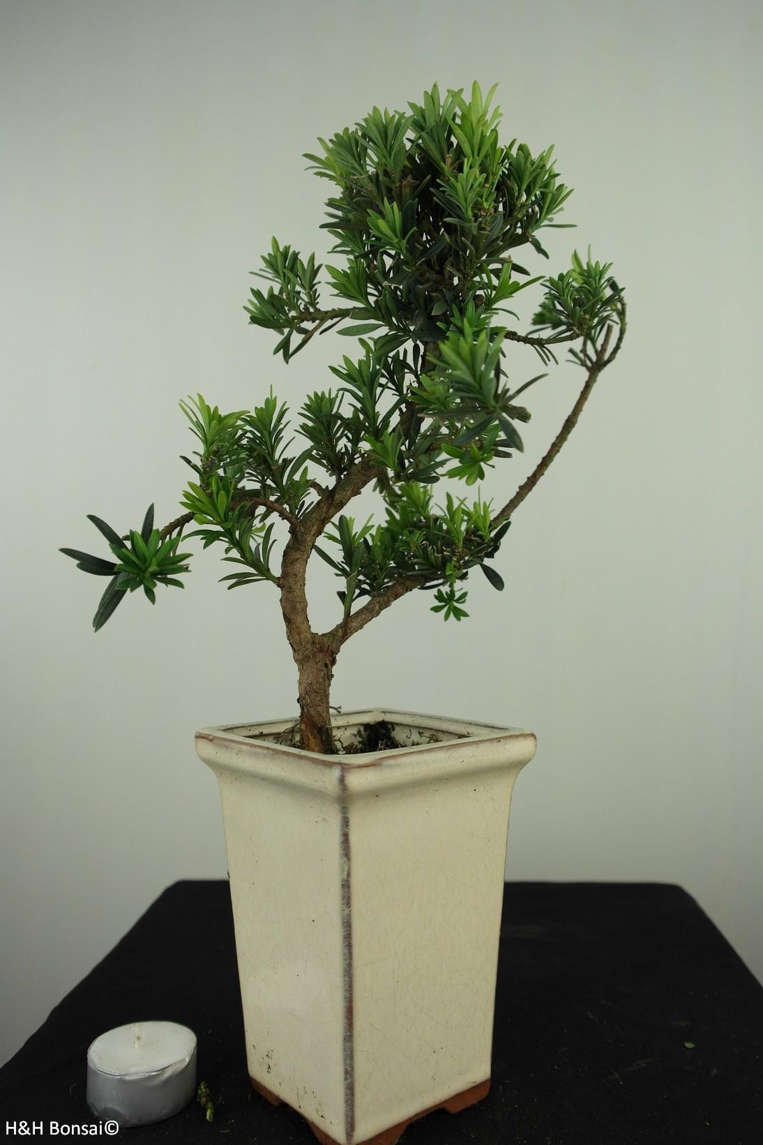Bonsai Chin. Steineibe, Podocarpus, nr. 7597