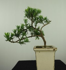 Bonsai Buddhist Pine, Podocarpus, no. 7598