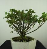 Bonsai Azalea, Rhododendron indicum, nr. 7604