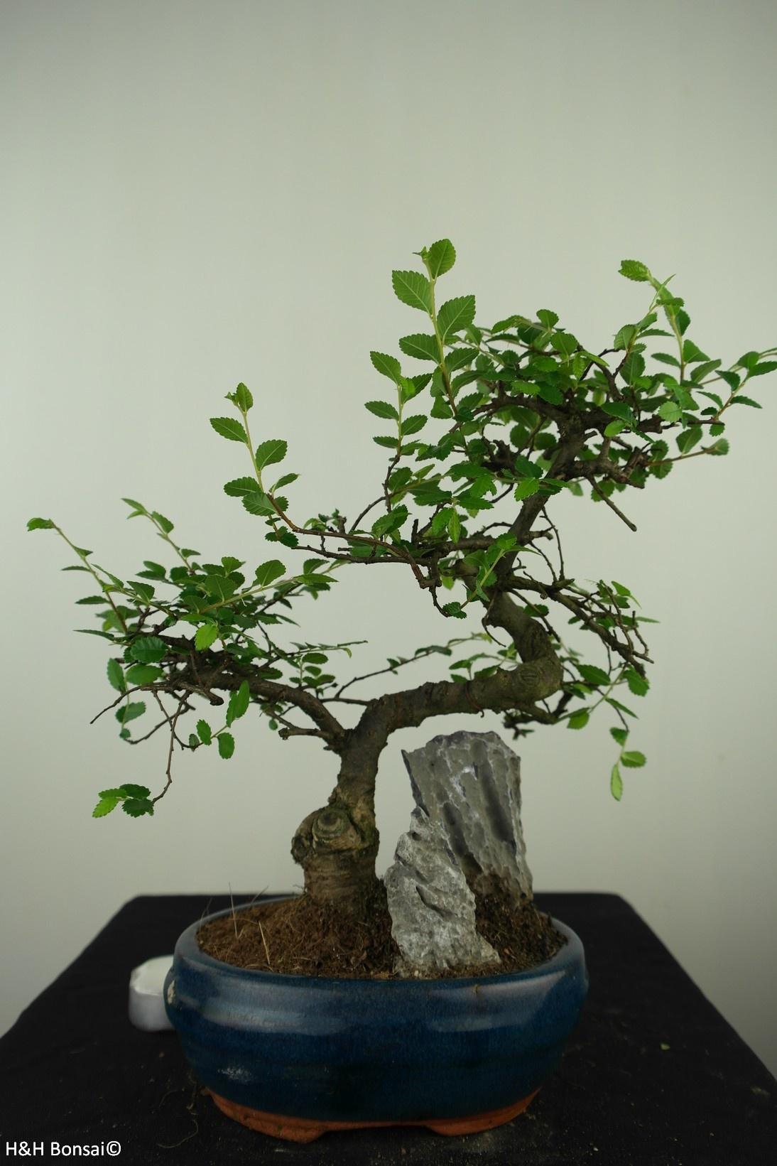 Bonsai Ulmus met rots, Chinese Iep, nr. 7612