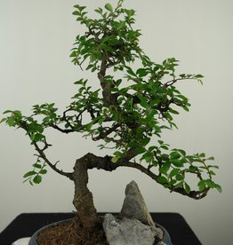 Bonsai Chinese Elm with rock, Ulmus, no. 7613