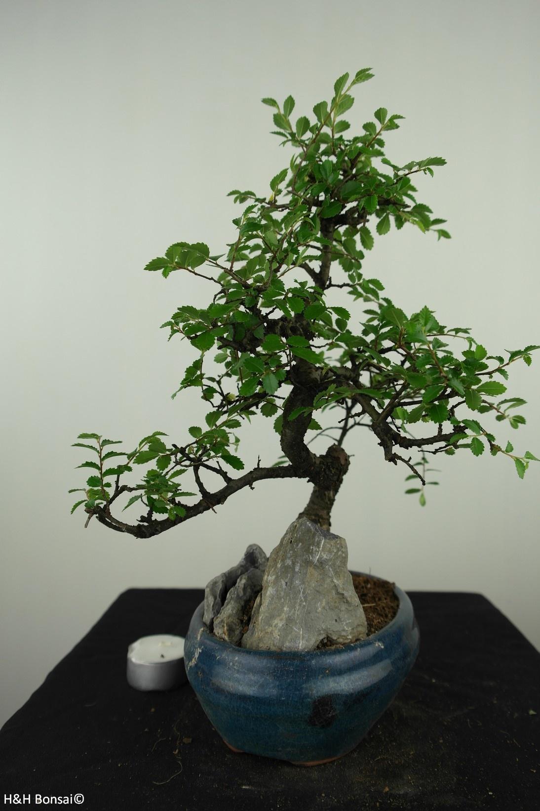 Bonsai Ulmus met rots, Chinese Iep, nr. 7613
