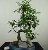 Bonsai Chin. Ulme mit Stein, Ulmus, nr. 7613