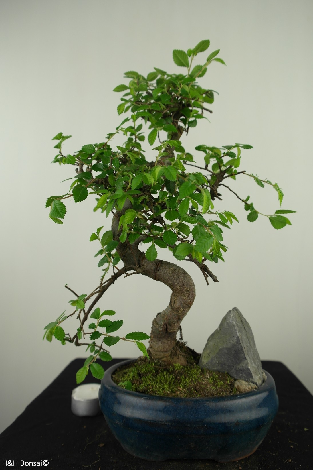 Bonsai Ulmus met rots, Chinese Iep, nr. 7616