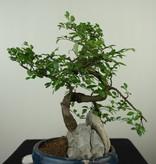 Bonsai Chin. Ulme mit Stein, Ulmus, nr. 7617