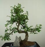 Bonsai Chin. Ulme mit Stein, Ulmus, nr. 7618