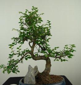 Bonsai Ulmus met rots, Chinese Iep, nr. 7618