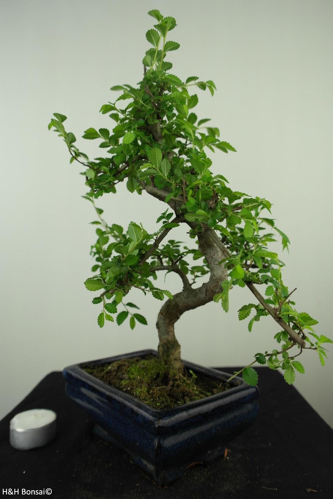 Bonsai Ulmus, Chinese Iep, nr. 7628