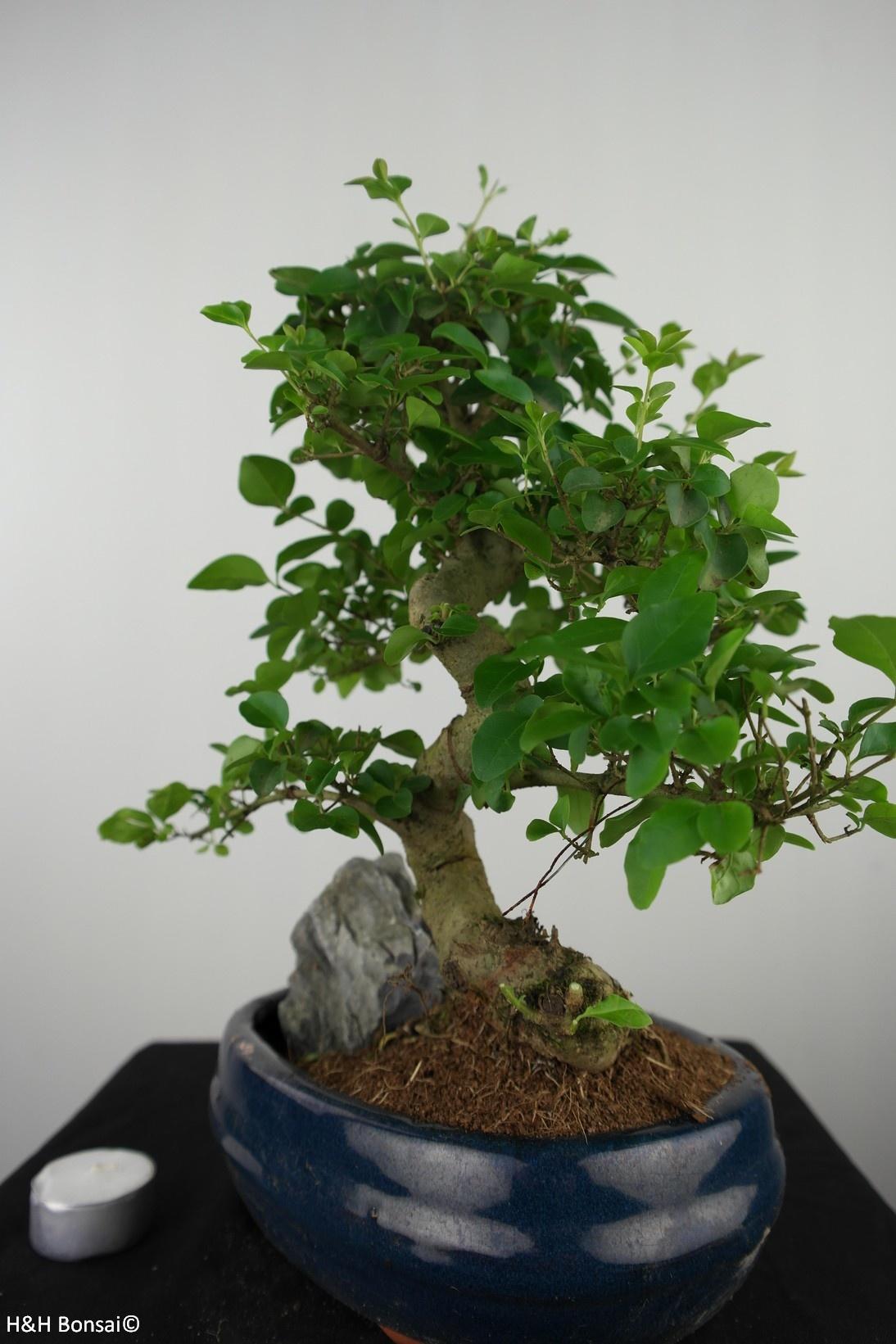 Bonsai Ligustrum nitida, Liguster, nr. 7629