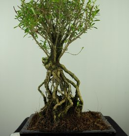 Bonsai Snow Rose, Serissa foetida, no. 7638