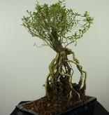 Bonsai Serissa foetida, nr. 7638