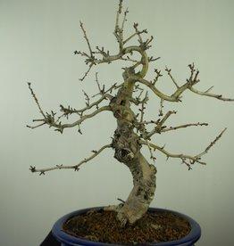 Bonsai Hawthorn, Crataegus cuneata, no. 7646