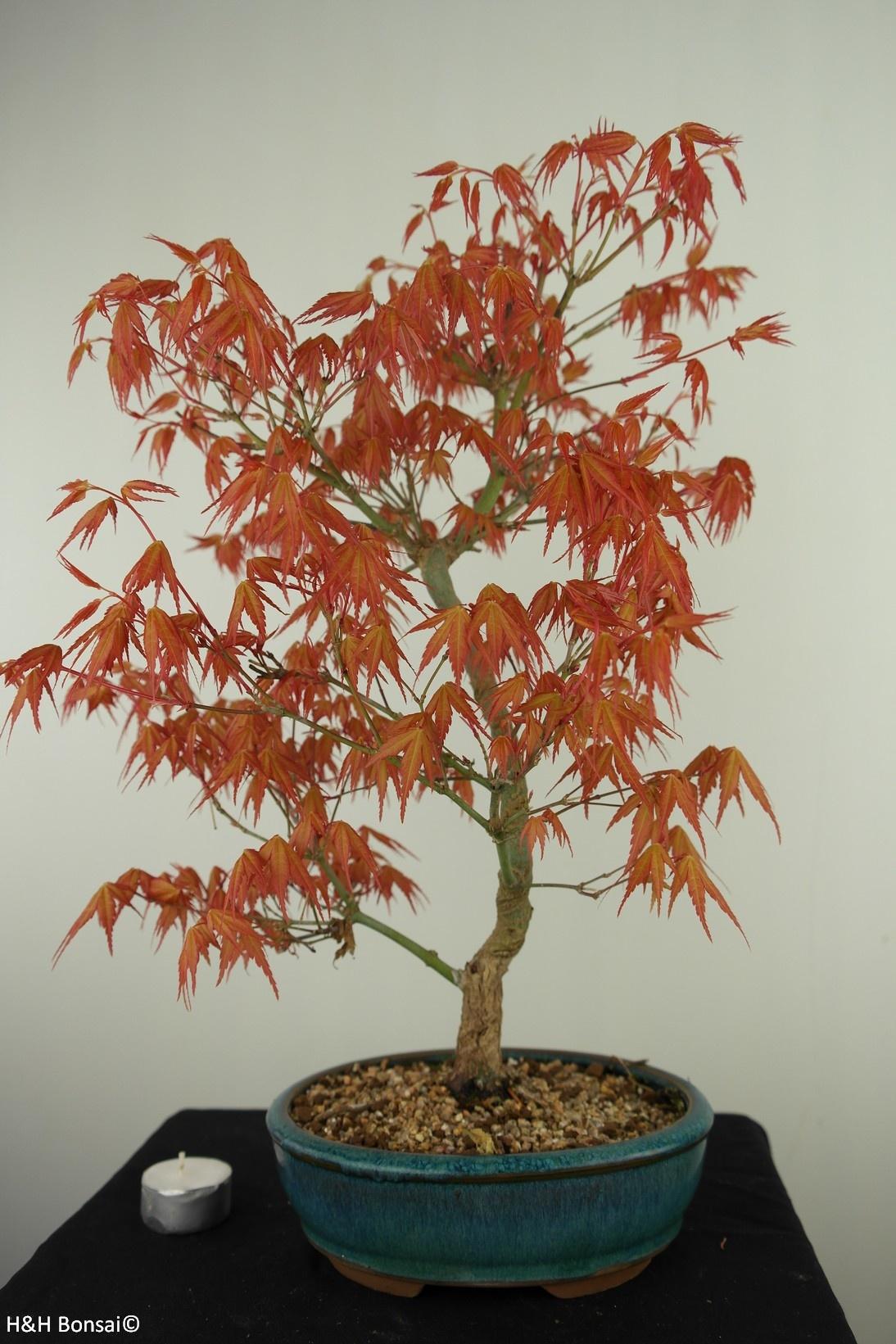 Bonsai Japanese Maple Katsura, Acer palmatum Katsura, no. 7672