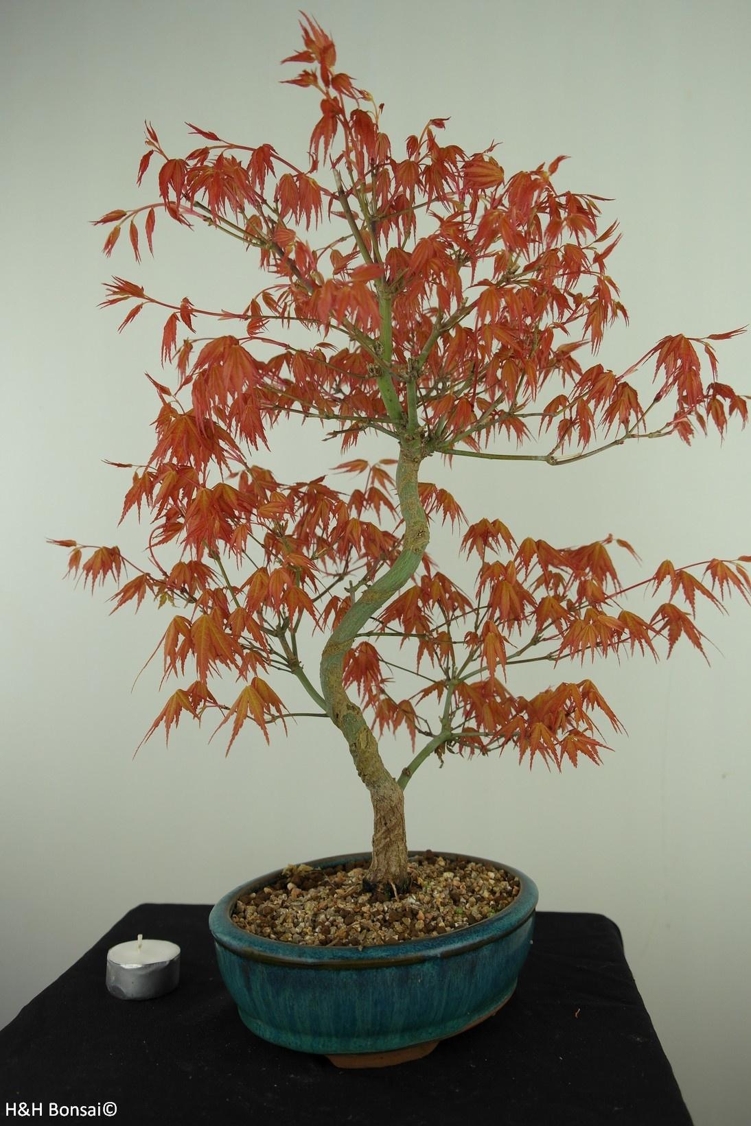 Bonsai Jap. Fächerahorn Katsura, Acer palmatum Katsura, nr. 7672