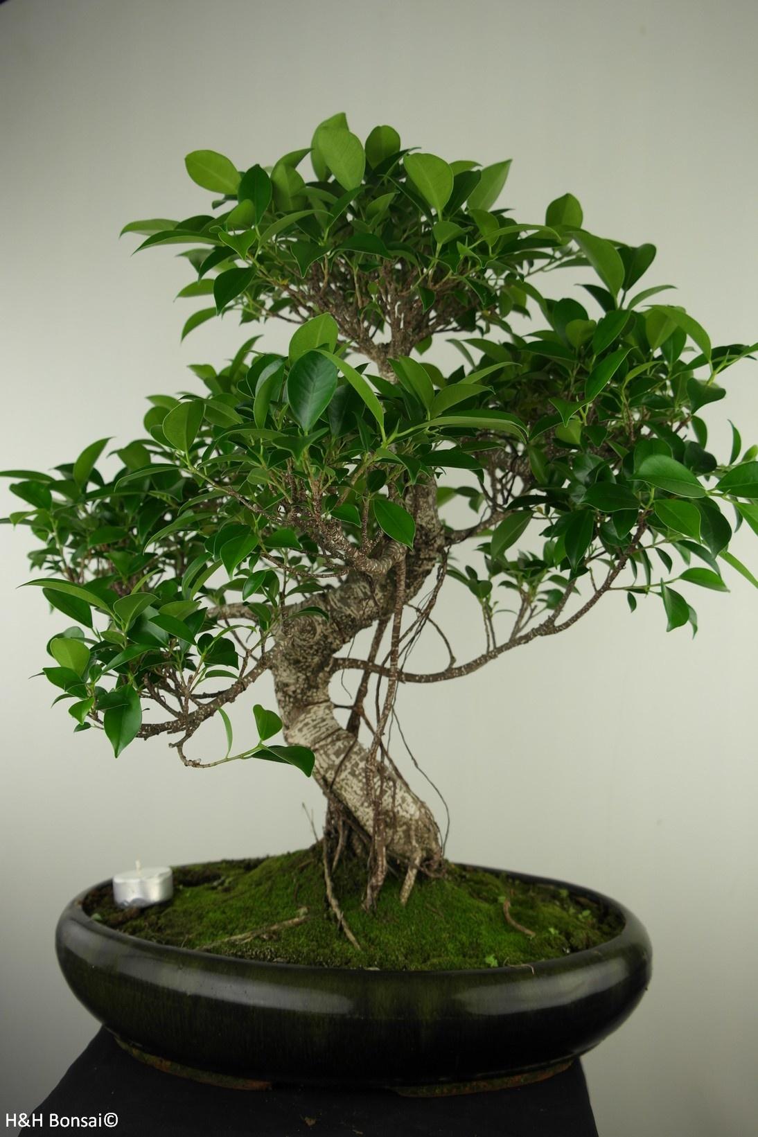 Bonsai Chin. Feigenbaum, Ficus retusa, nr. 7673
