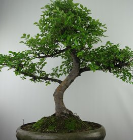 Bonsai Zelkova, no. 7680