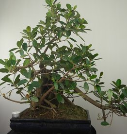 Bonsai Fig Tree, Ficus microcarpa panda, no. 7681