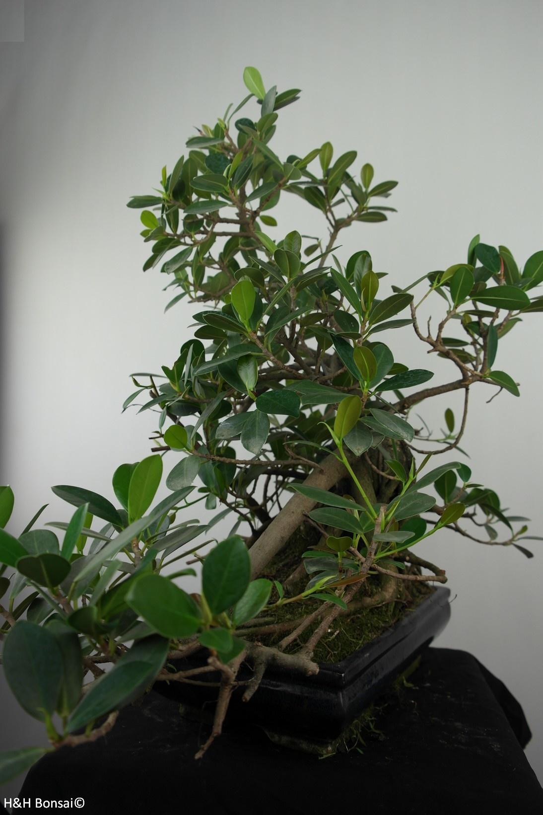 Bonsai Ficus microcarpa panda, nr. 7681