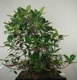 Bonsai Kleinblättriger Gummibaum, Ficus microcarpa panda, nr. 7682