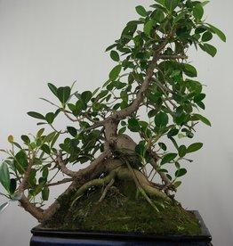 Bonsai Kleinblättriger Gummibaum, Ficus microcarpa panda, nr. 7683