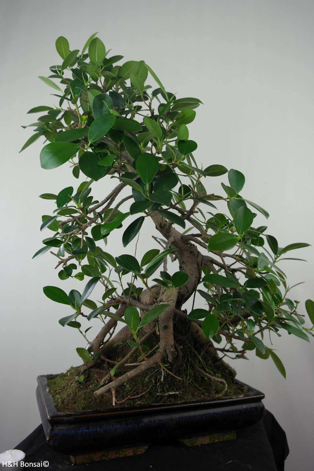 Bonsai Ficus microcarpa panda, nr. 7683
