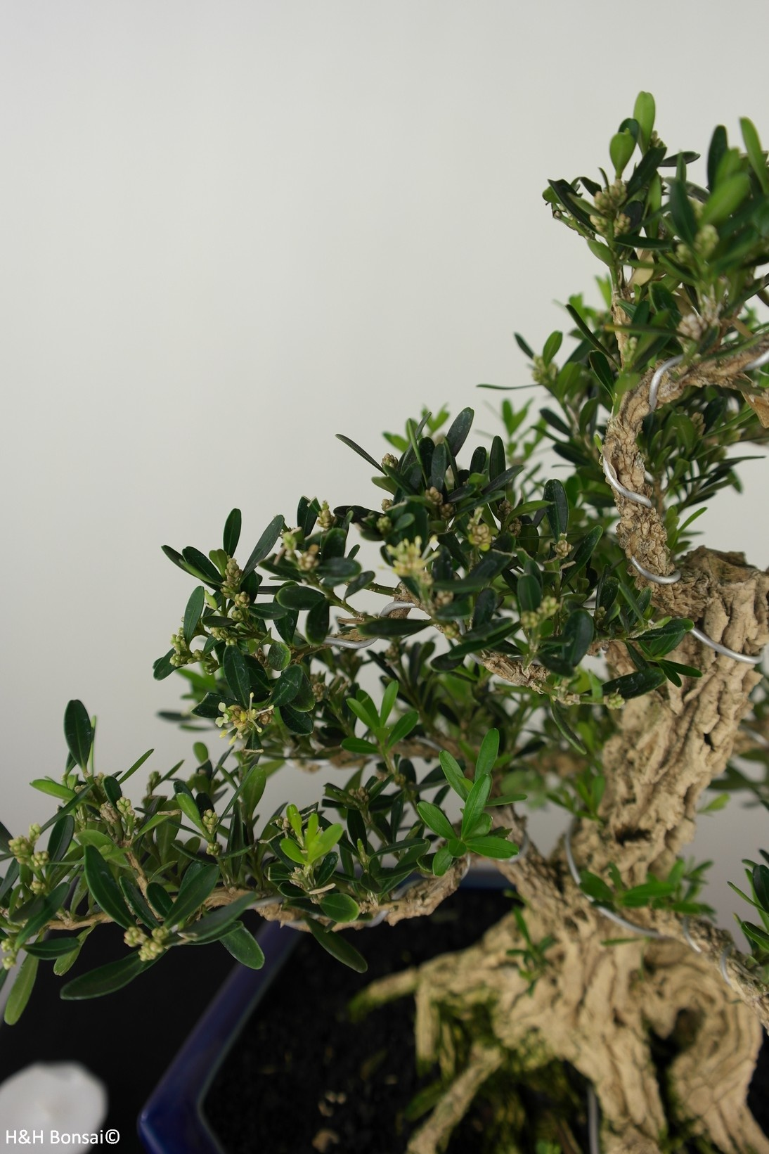 Bonsai Buchsbaum, Buxus harlandii, nr. 7685