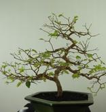 Bonsai Syzygium, nr. 7688