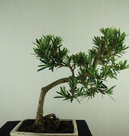 Bonsai Podocarpus, Japanse boeddha den, nr. 7716