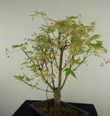 Bonsai Acer palmatum Batafurai, Butterfly, nr. 7724