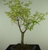 Bonsai Acer palmatum Batafurai, Butterfly, nr. 7727