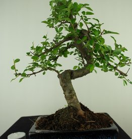 Bonsai Chinese Elm, Ulmus, no. 7736