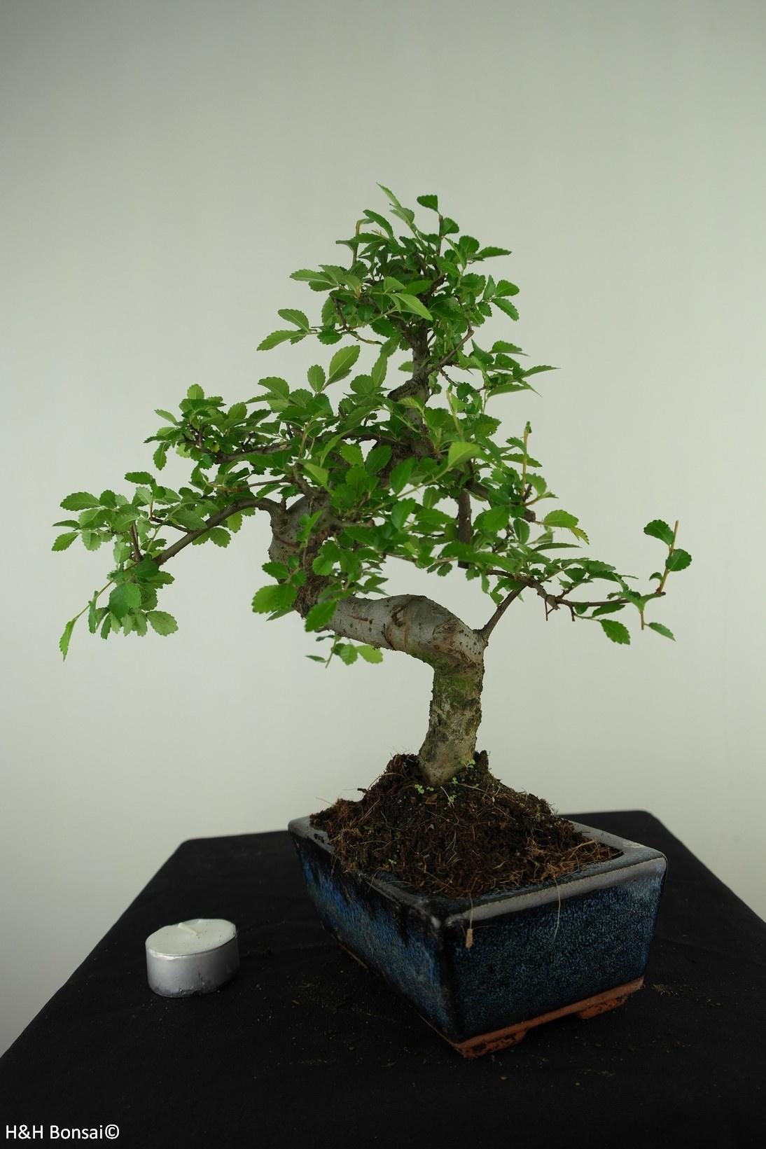 Bonsai Chin. Ulme, Ulmus, nr. 7736