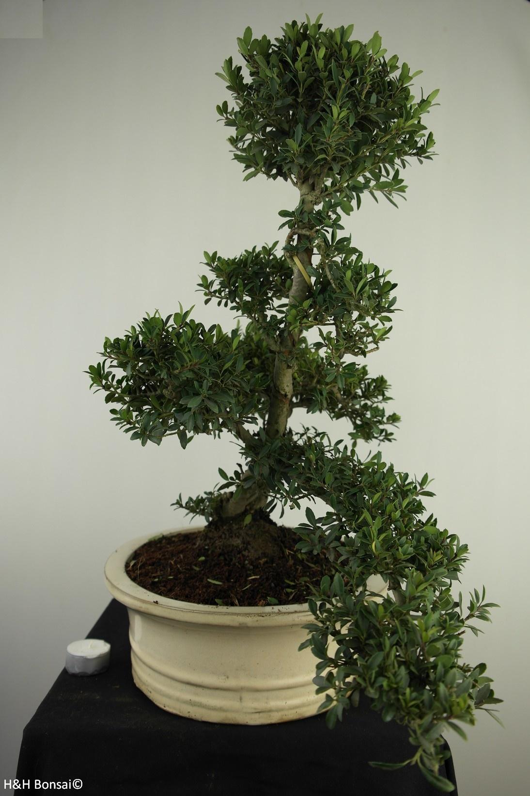 Bonsai Japanische Stechpalme, Ilex crenata, nr. 7742