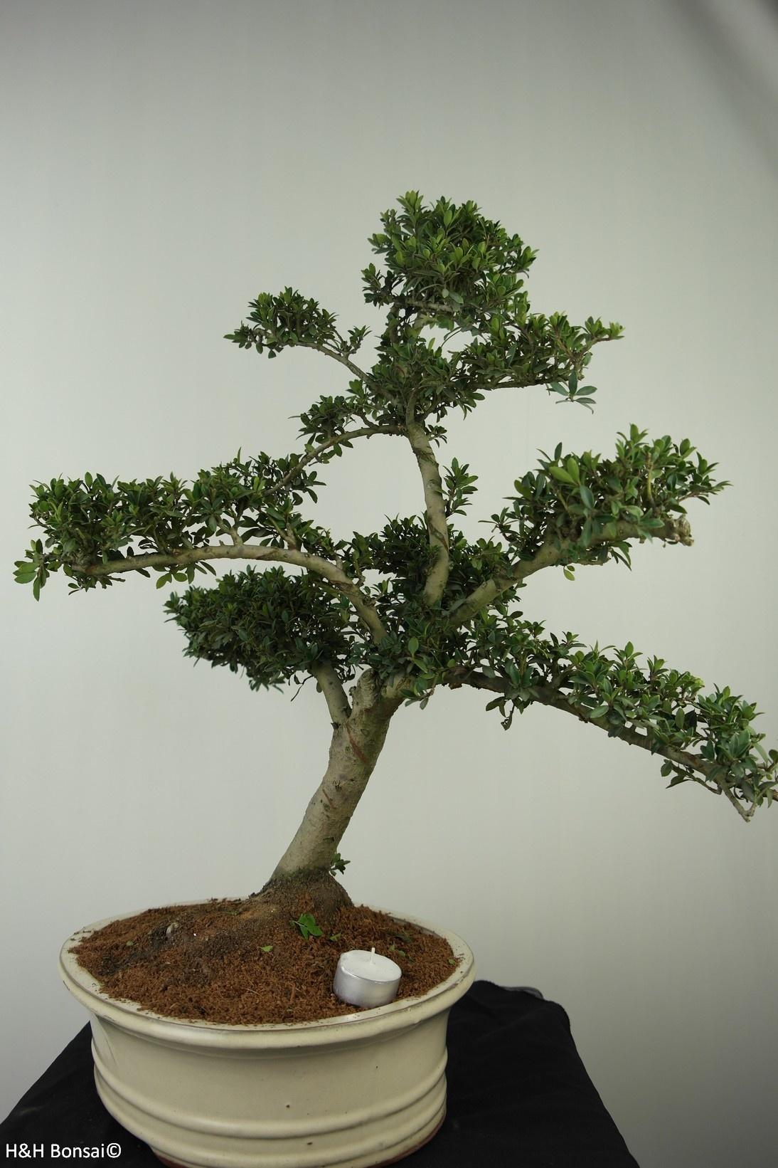 Bonsai Japanische Stechpalme, Ilex crenata, nr. 7743