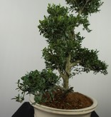 Bonsai Japanische Stechpalme, Ilex crenata, nr. 7745