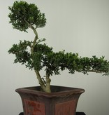 Bonsai Ilexcrenata, Japanse hulst, nr. 7746