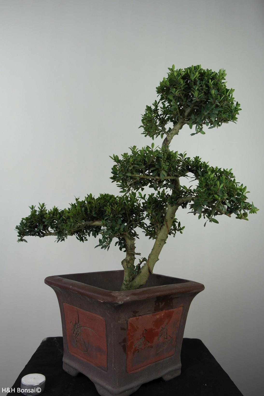 Bonsai Japanische Stechpalme, Ilex crenata, nr. 7746