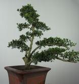 Bonsai Houx japonais, Ilexcrenata, no. 7747