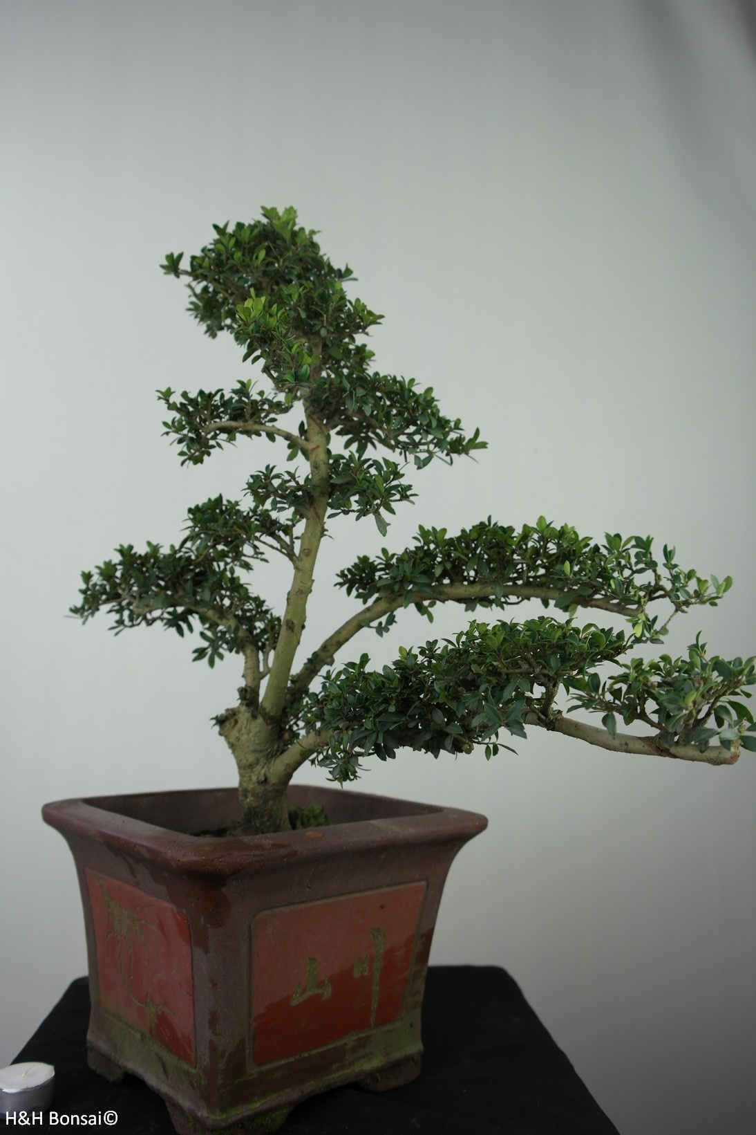 Bonsai Japanese Holly, Ilex crenata, no. 7747