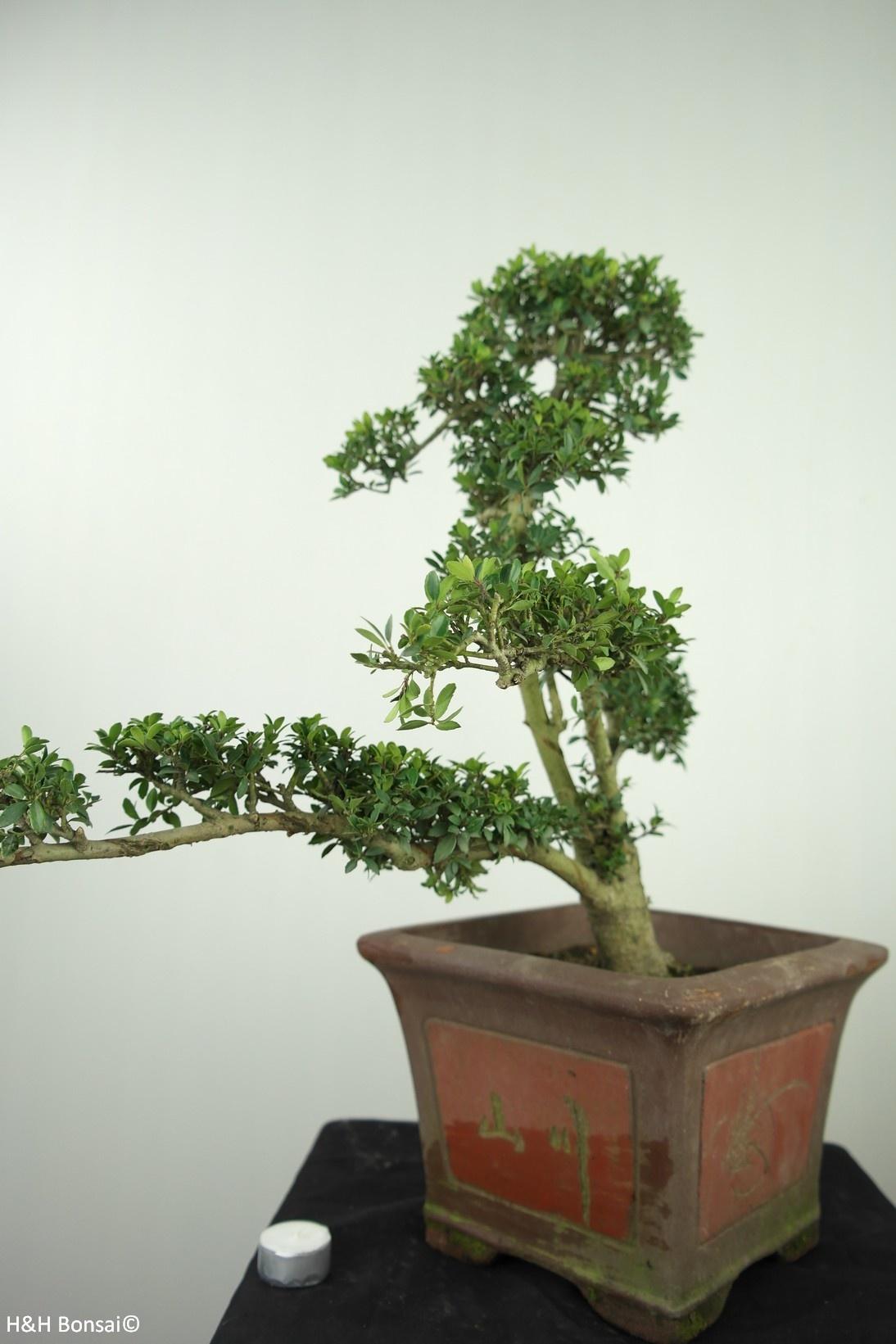 Bonsai Japanische Stechpalme, Ilex crenata, nr. 7747