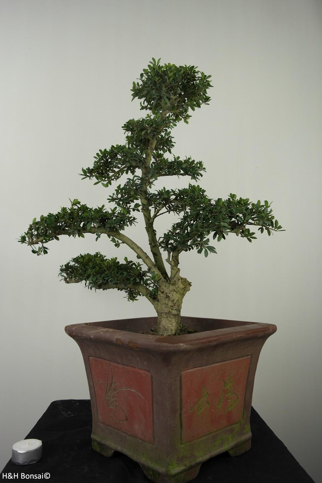 Bonsai Ilexcrenata, Japanse hulst, nr. 7747