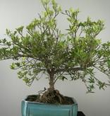 Bonsai Gardenie, Gardenia jasminoides, nr. 7751