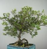 Bonsai Gardenia, Kaapse jasmijn, nr. 7751