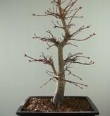 Bonsai Acer palmatum deshojo, Japanse esdoorn, nr. 7754