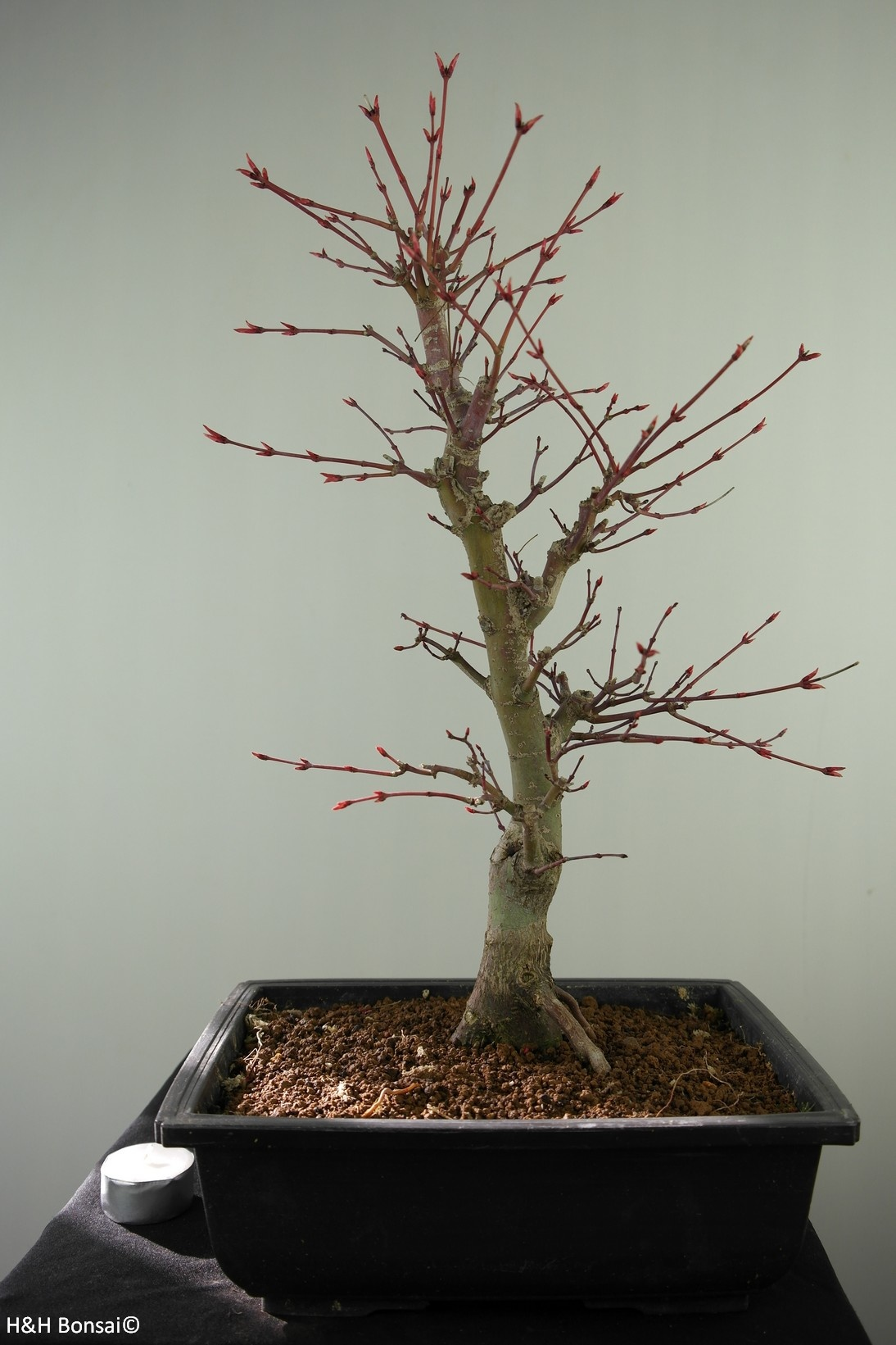 Bonsai Acer palmatum deshojo, Japanse esdoorn, nr. 7755