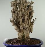 Bonsai Ginkgo biloba, Japanse notenboom, nr. 7757