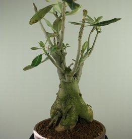 Adenium obesum, variegata, nr. 7759